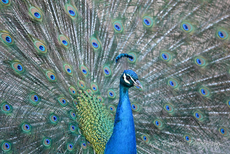 Pretty Peacock, Denver Zoo