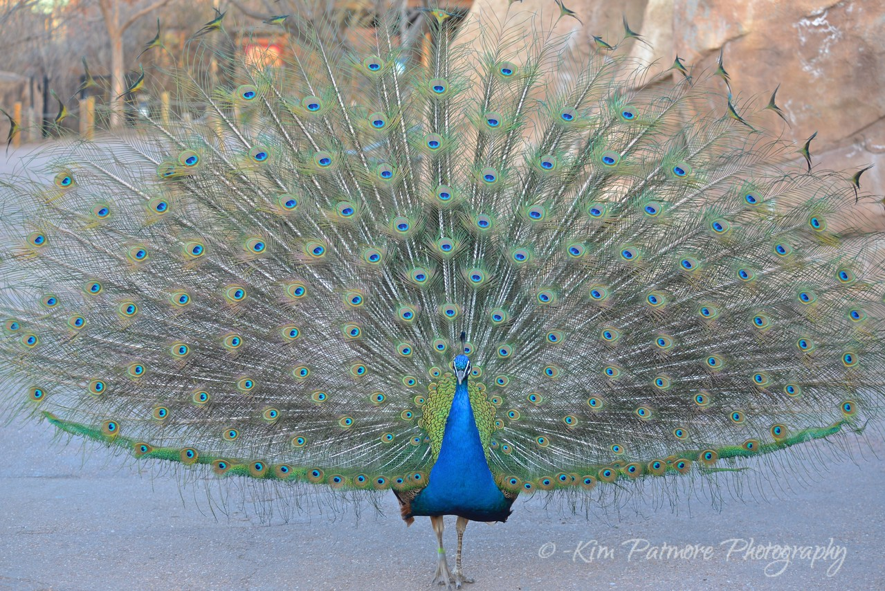 Strutting Peacock, Denver Zoo