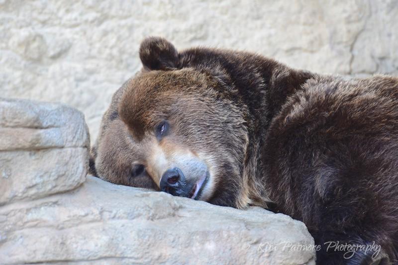 Dozing Brown Bear, Denver Zoo