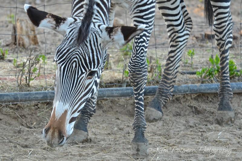 Baby Zebra, Denver Zoo