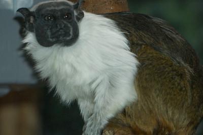 Lemur, Monkey, and Apes