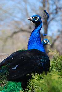 Aren't peacocks pretty?0