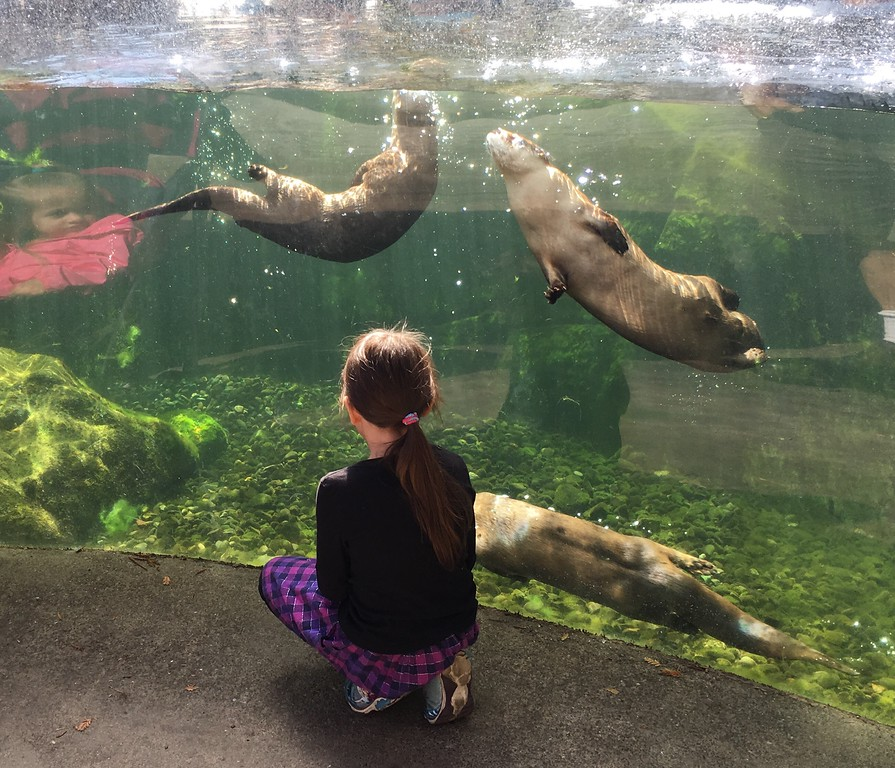 . A visitor watches the river otters at the Sequoia Park Zoo during its 110th anniversary celebration on Sunday. (Ruth Schneider - The Times-Standard)