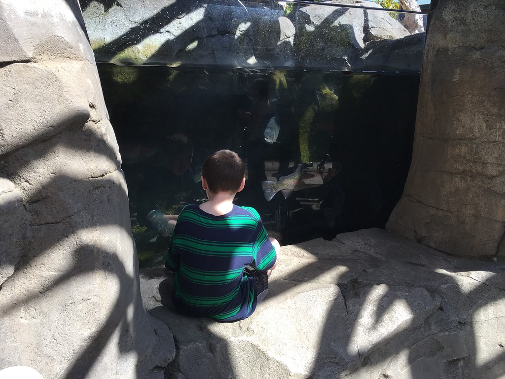 . A young visitor watches the salmon and possibly his own reflection at Sequoia Park Zoo on Sunday. There was free admission as the zoo celebrated its 110th anniversary.  (Ruth Schneider - The Times-Standard)