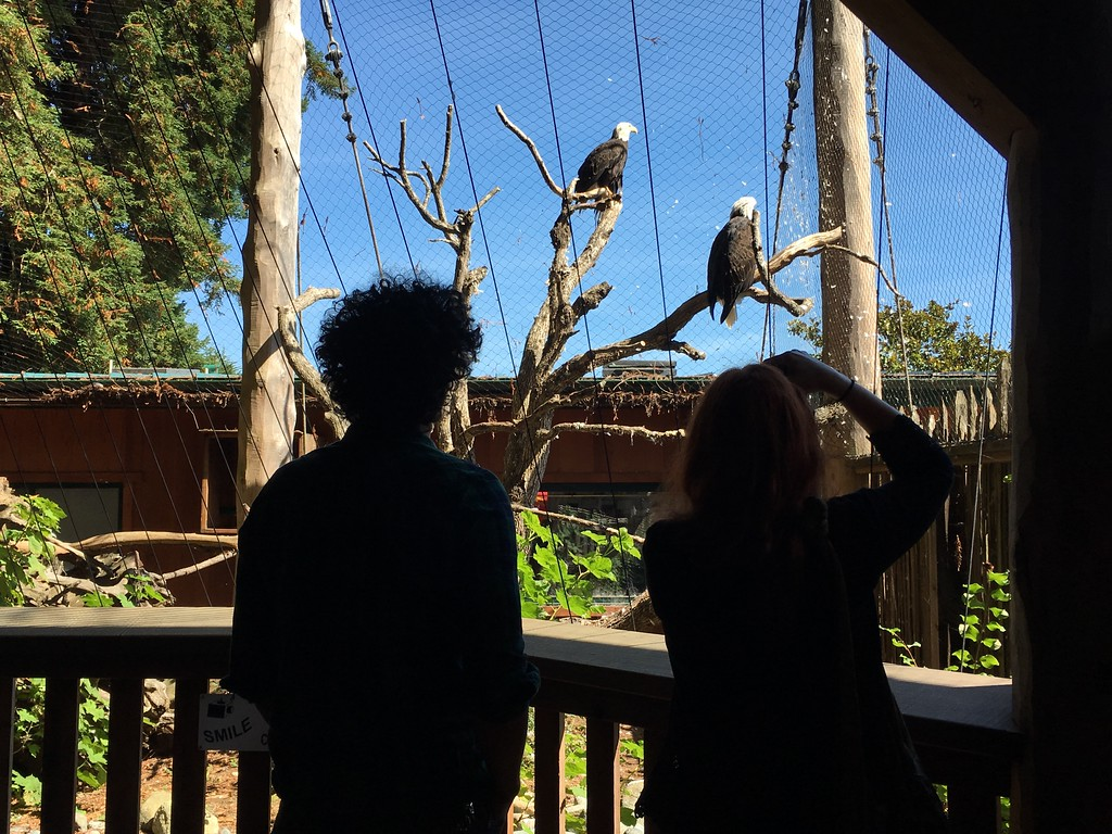. Visitors to the zoo snap photos of bald eagles inside their enclosure on Sunday.  (Ruth Schneider - The Times-Standard)
