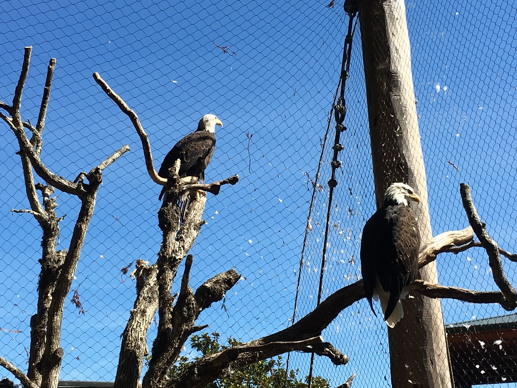 . Two bald eagles pose for photos at Sequoia Park Zoo on Sunday.  (Ruth Schneider - The Times-Standard)