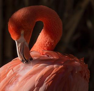 """American Flamingo 1"""