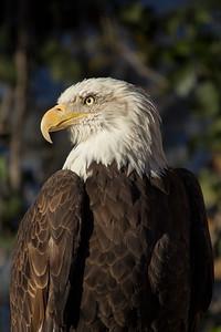 """""""Bald Eagle L"""""""