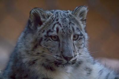 """Snow Leopard 2"""