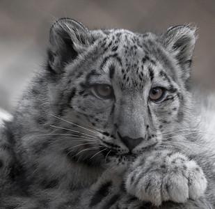 """Snow Leopard 1"""