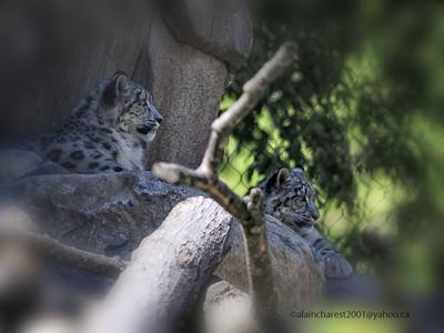 Zoo de Granby, Granby, Qc, Canada; Snow leopard  / Uncia uncia, Panthera uncia / once, irbis, panthère des neiges, léopard des neiges