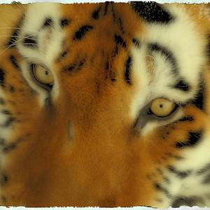 Zoo de Granby, Granby, Qc, Canada; tigre de Siberie ou tigre de l'Amour / Siberien tiger or Amur tiger. ( Panthera tigris altaica )
