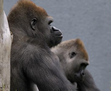Zoo de Granby, Granby, Qc, Canada: Gorille des plaines/ Plain gorilla, two males/ deux mâles