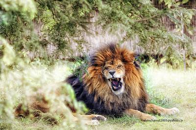 Zoo de Granby, Granby, Qc, Canada; African Lion / Lion d'Afrique / Panthera leo