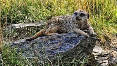 Zoo de Granby, Granby, Qc, Canada; Meerkat / Suricate / Suricata suricatta