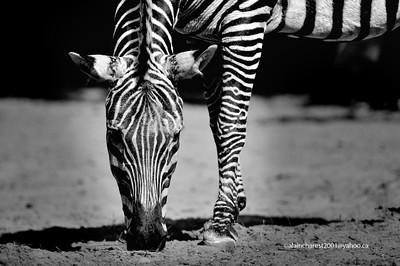 Zoo de Granby, Granby, Qc, Canada; Grant's zebra; the smallest of six subspecies of the plains zebra. Zebra form of the Serengeti-Mara ecosystem. / Equus quagga bohemi / Zèbre de Grant, le plus petit des zèbres des plaines. Zèbre de le l'écosystème du Serengeti-Mara.