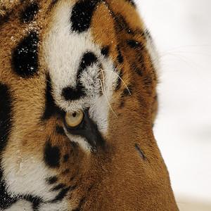 Zoo de Granby, Granby, Qc, Canada; tigre de Siberie ou tigre de l'Amour mâle / Male Siberien tiger or Amur tiger. ( Panthera tigris altaica )