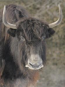 Zoo de Granby, Granby, Qc, Canada;Yack ou Yak /  Yak ( Bos grunniens )