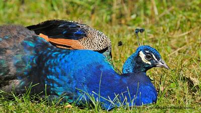 Zoo de Granby, Granby, Qc, Canada; Indian Peafowl, Blue Peafowl  / Pavo cristatus / Paon bleu
