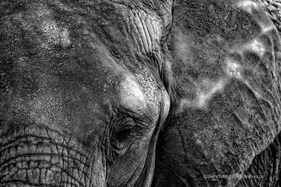 Zoo de Granby, Granby, Qc, Canada; African bush elephant, African savanna elephant  / Loxodonta africana / Elephant d'Afrique