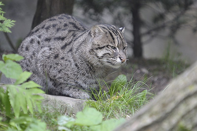 Prionailurus viverrinus, Zoo de Granby, Granby, Qc, Canada: Chat pêcheur, chat viverrin / Fishing cat