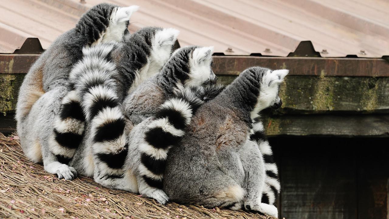 Zoo de Granby, Granby, Qc, Canada; Lemur catta ou Maki mococo / Ring-tailed lemur