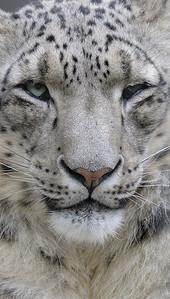 Once / Panthera uncia, Zoo de Granby, Granby, Qc, Canada: Snow Leopard / Léopard des neiges