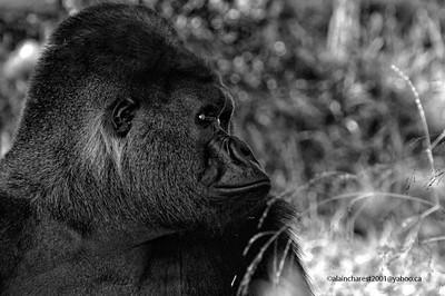 Gorilla, gorilla gorilla, Zoo de Granby, Granby, Qc, Canada; Western lowland gorilla / Gorille des plaines occidentales, Gorille des plaines de l'ouest
