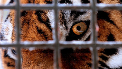 Siberian tiger, Amur tiger / Panthera tigris altaica / Tigre de l'Amour, Tigre de Sibérie