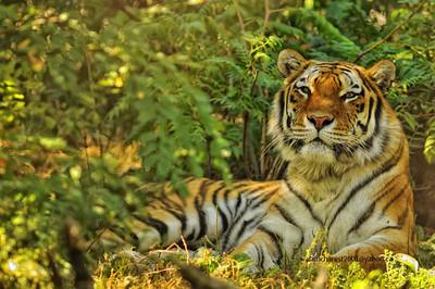 Zoo de Granby, Granby, Qc, Canada; Siberian tiger, Amur tiger / Panthera tigris altaica / Tigre de l'Amour, Tigre de Sibérie