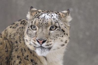 Zoo de Granby, Granby, Qc, Canada; Once ou Léopard des neiges (aussi appelé Irbis ou Panthère des neiges ) femelle / Female Snow leopard. (Uncia uncia or Panthera uncia )