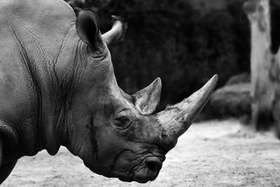 Zoo de Granby, Granby, Qc, Canada; Rhinocéros blanc / White Rhinoceros or Square-lipped rhinoceros. ( Ceratotherium simum )