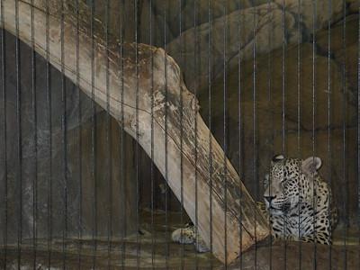 Iranian Leopard