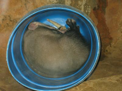 Sleeping Aardvark