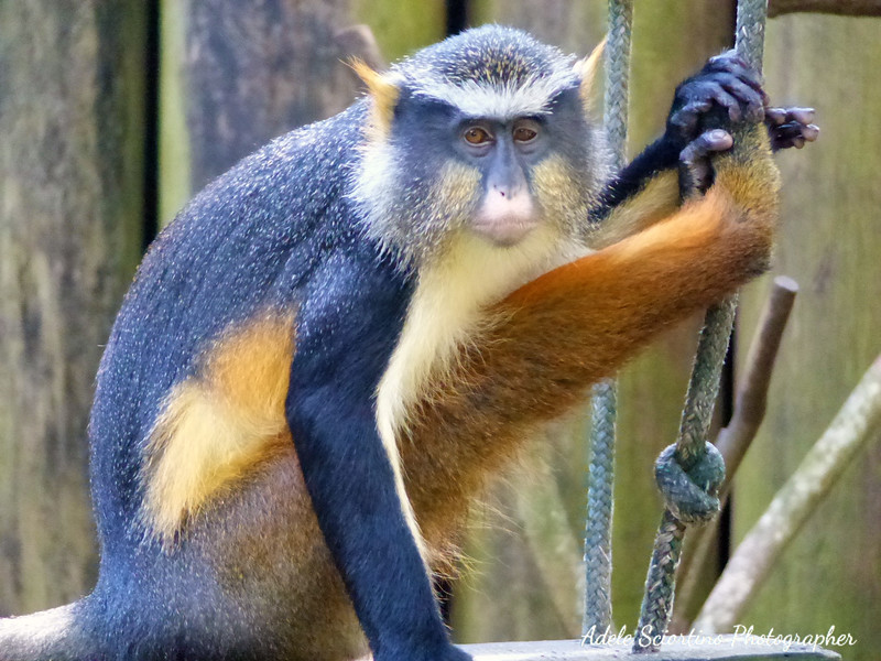 Blue Spider Monkey