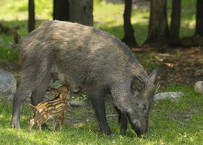 Parc Omega, Montebello, Qc, Canada; bébé sanglier tétant sa mère au / Young wild boar feeding on is mother.