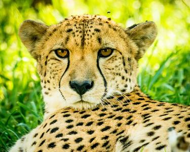Leopard Dare