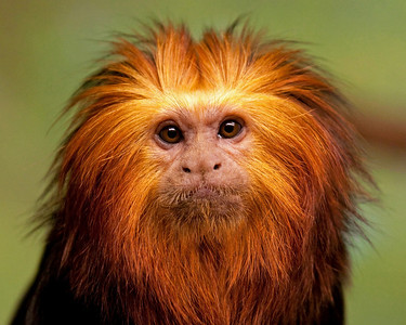 Golden Tamarin Monkey