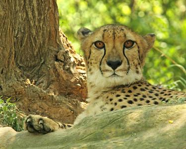 Cheetahs Eyes
