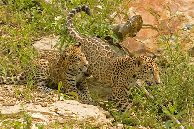 Playful Jaguar Cubs