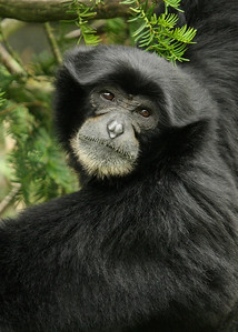 Siamang Gibbon Monkey
