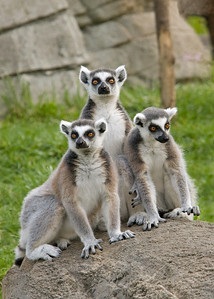 Little Lemurs