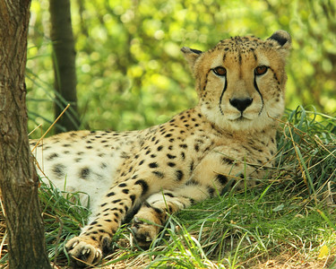 Resting Cheetah