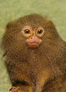Little Marmoset