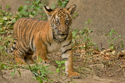 Stalking Tiger Cub