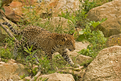 Stalking Jaguar Cub