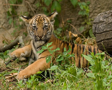 Alert Tiger Cub