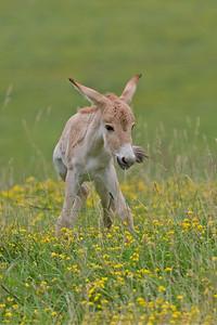 Przewalski Wild horse foal in field