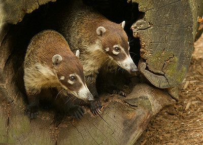 Two Coatis