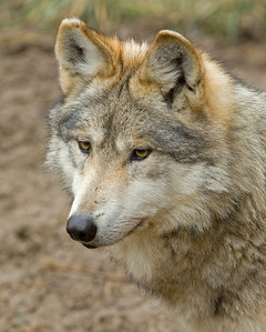 Mexican Gray Wolf Profile